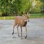 deer larchmont ave