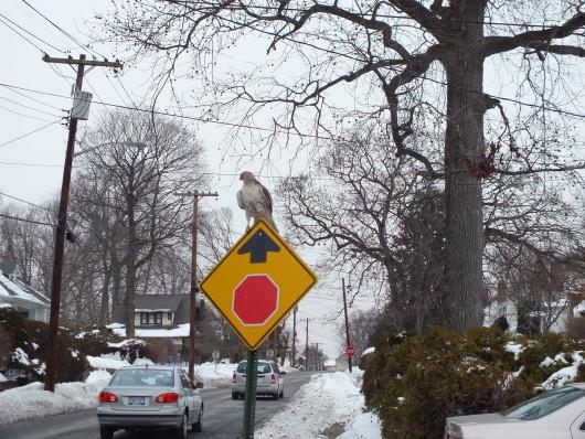 hawk, photo