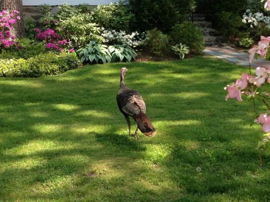 chatsworth turkey, 2013