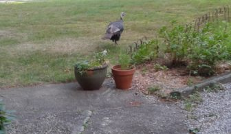 turkeynearpots
