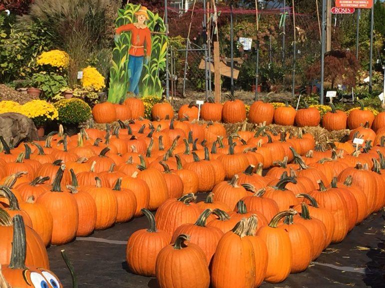 pumpkins, nursery, autumn, photo