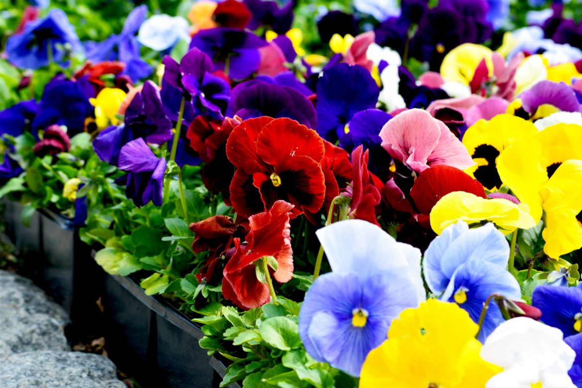 spring, pansies, snapshot of day